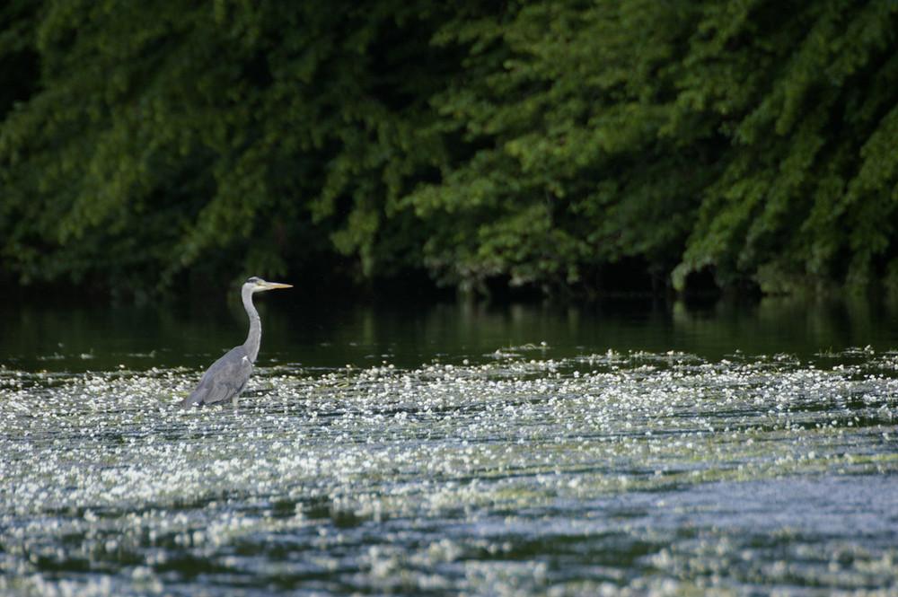 heron cendré sur la riviere de la semoy(ardennes thilay)