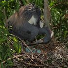 Heron ready to turn eggs.
