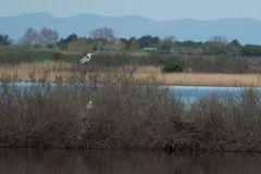 Héronière dans la réserve du Bagnas (Agde)