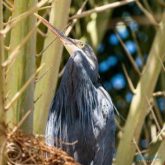 Herons' Tree