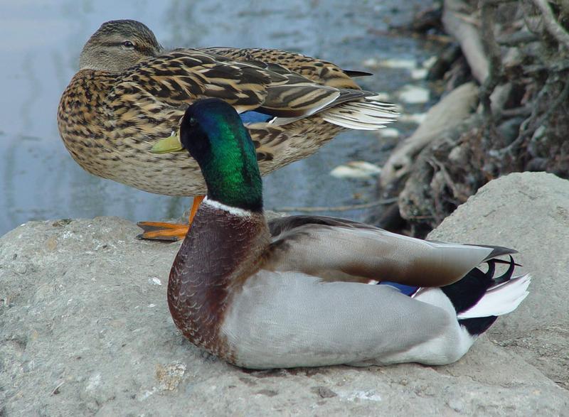 Herr und Frau Ente