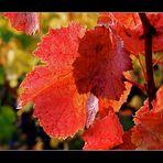 herrlich rotes Weinlaub......