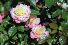 Herrliche Rosen in Harmonie