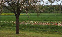 Herrliche Tulpen und blühende Obstbäume ...