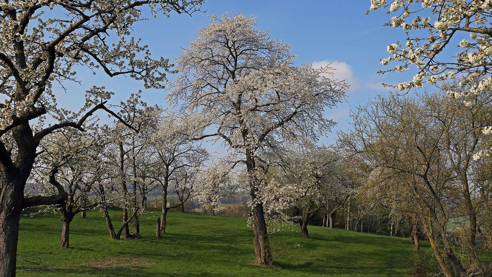 Herrliche Wiese der alten Obstbäume mit vielen Kirschen...