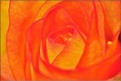 Herz der Rose