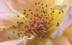 Herz einer Rose