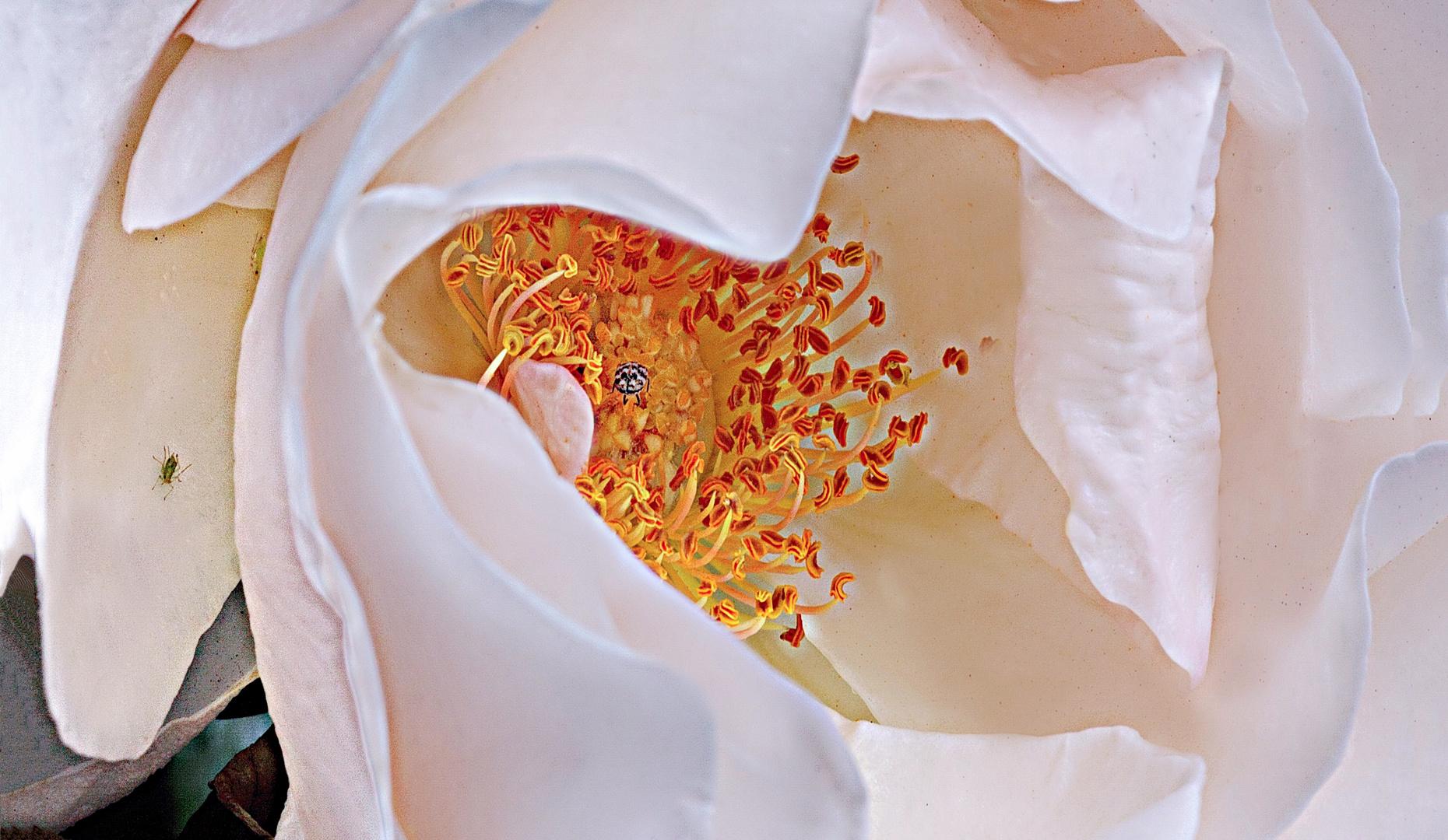 herz einer schöne rose foto  bild  macro  natur macro