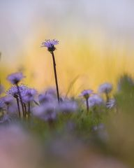 Herzblättrige Kugelblume-0430