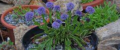 Herzblättrige Kugelblume-Globularia cordifolia in der neuen Variante...