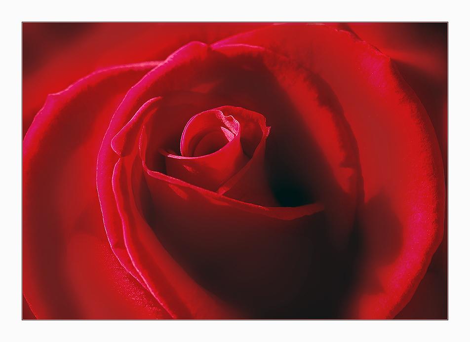 ...herz.rose......