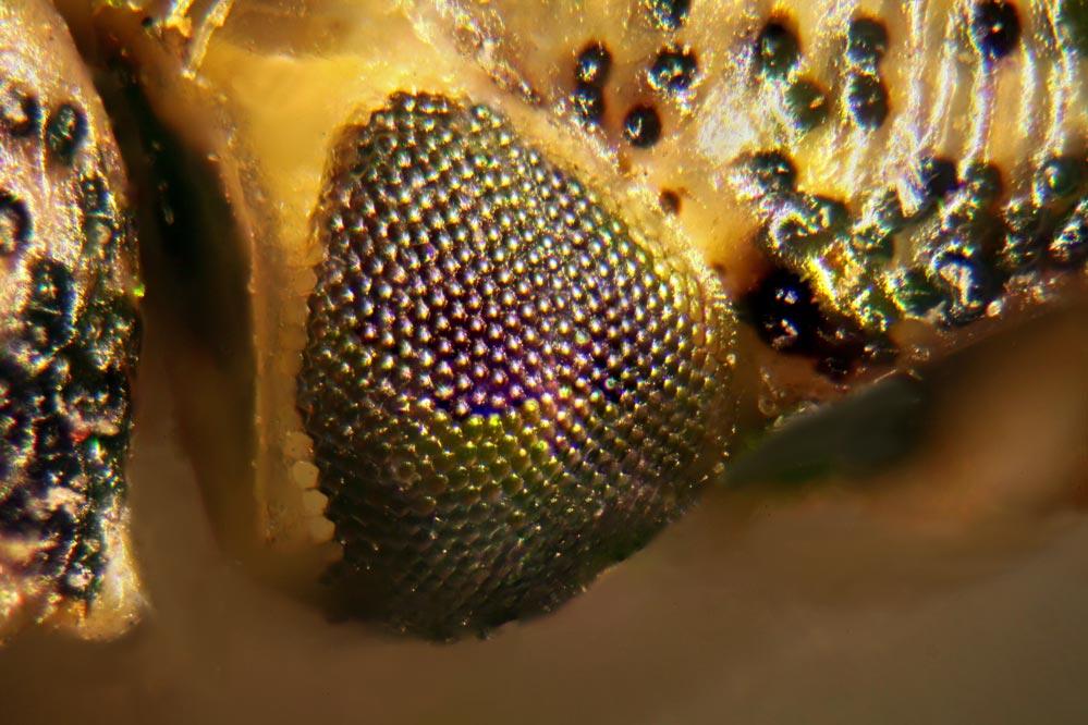 Heteroptera - das Auge - Mikroskopaufnahme