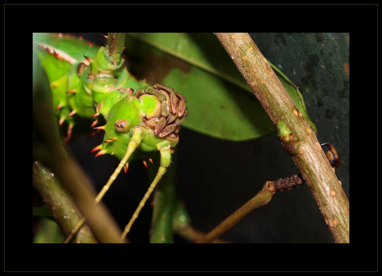 Heteropteryx dilatata...Mädel