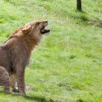 Heulender Wolf im Löwenfell??