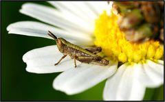 -- Heuschreck = Blumenfreund --