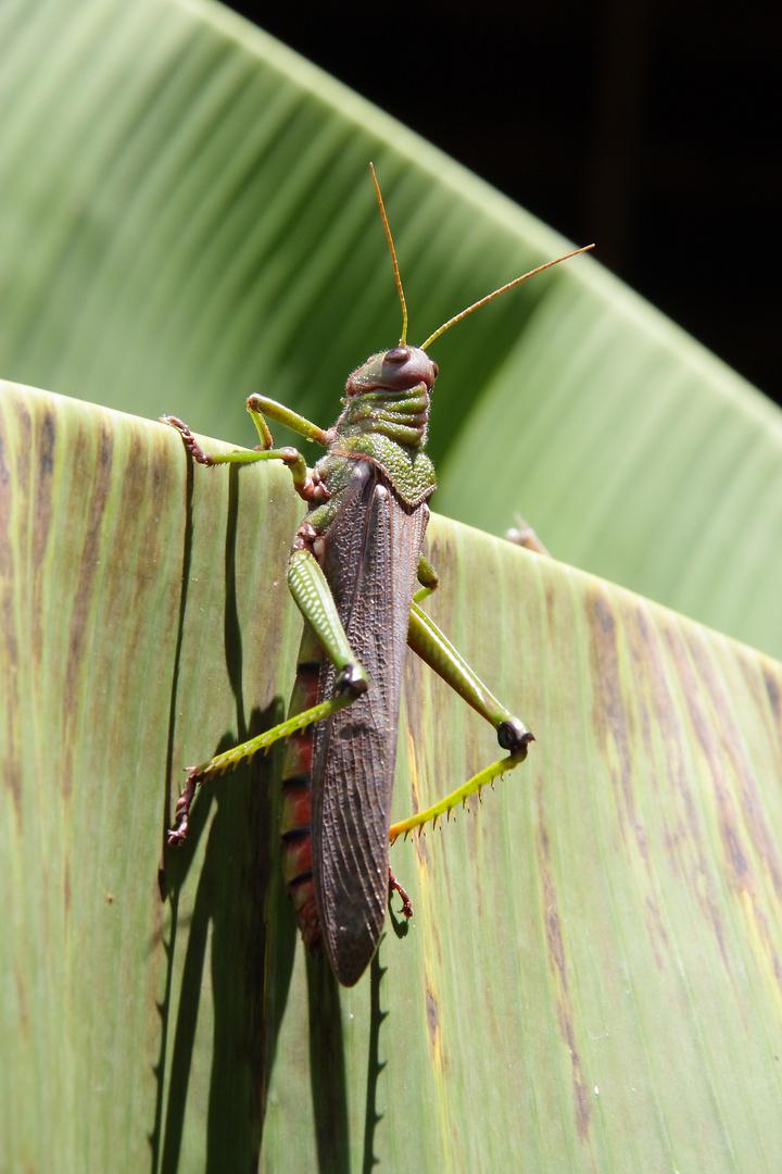 Heuschrecke am Amazonas
