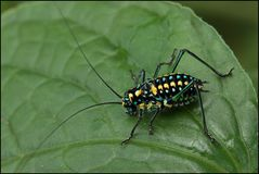 Heuschreckenlarve