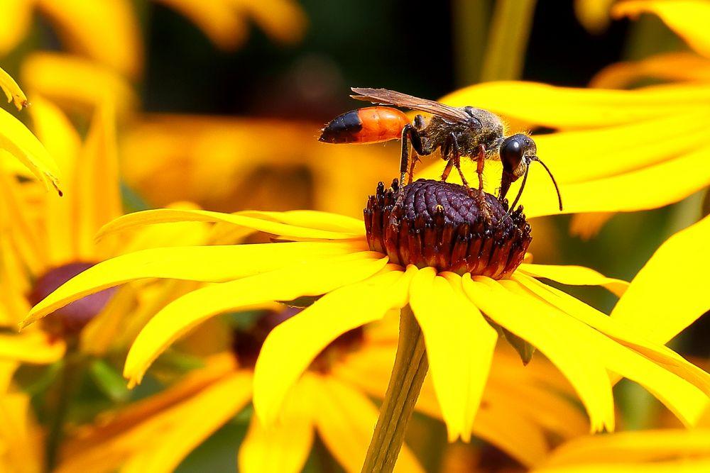 Heuschreckensandwespe (Sphex funerarius) auf Sonnenhut
