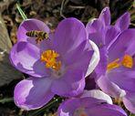 Heute die erste Biene bei 13°+
