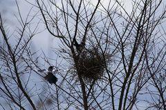 Heute, Elsternpaar beim Nestbau