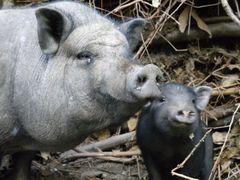 heute, erster tag mit meinen schweinchen