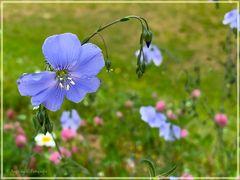 heute in zart violett ......