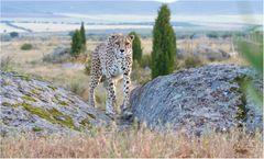 Heute ist mir mal wieder danach einen Geparden zu zeigen