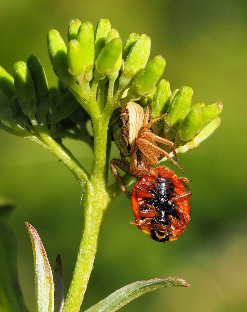 Heute Käfer zum Mittagessen ...