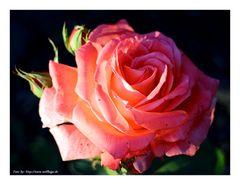 Heute mal Rose ....