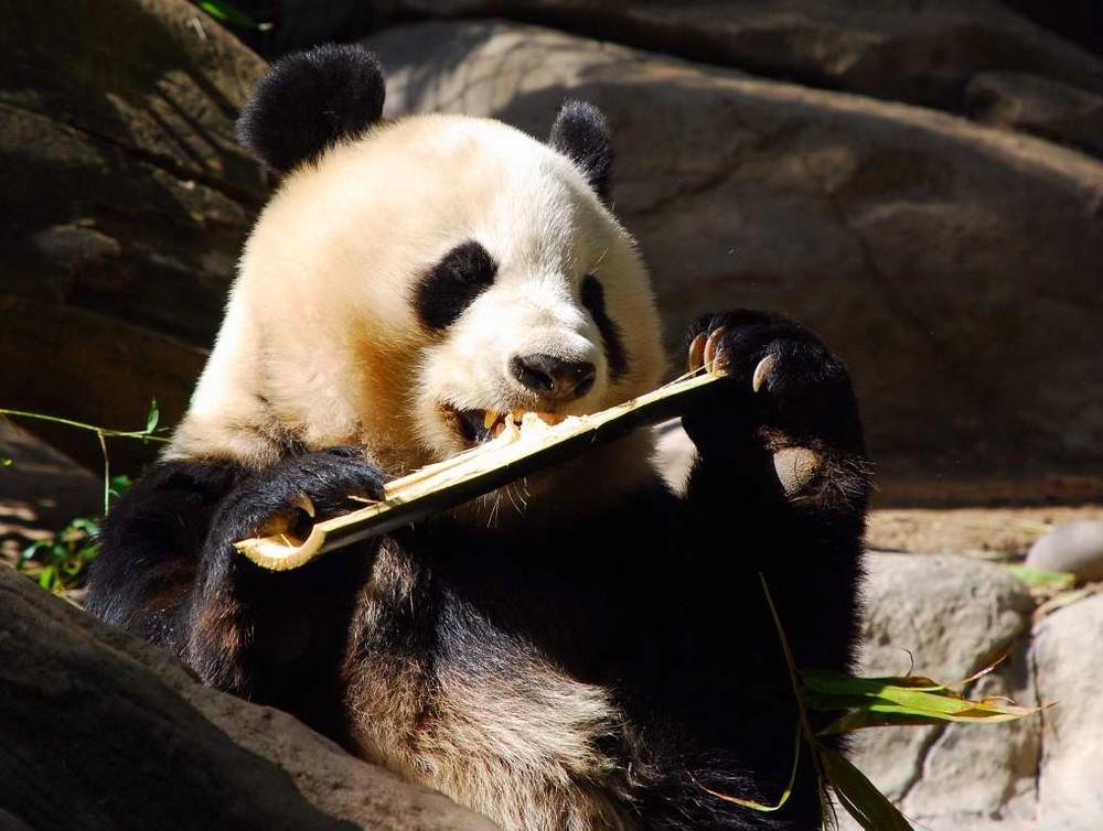 Heute schon etwas Bambus geknabbert?