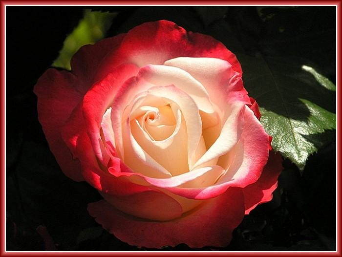 Heute will ich dir zu Liebe Rosen fühlen