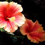 Hibiscus bicolor
