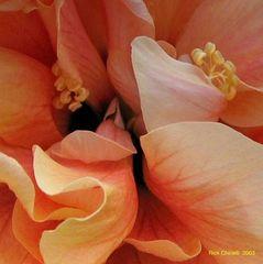 Hibiscus Close Up