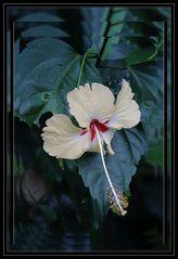 hibiscus délicat