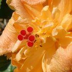 Hibiscus Doble III