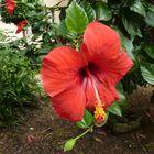 Hibiscus in spanischen Garten.