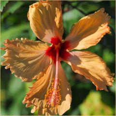 Hibiscus jaune orangé...