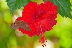 Hibiscus mit Besuch,  höchstwahrscheinlich Eurybia elvina und Eurybia elvina granulata.