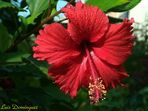 Hibiscus Roja