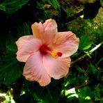 Hibiscus Rosado