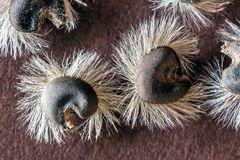Hibiscus syriacus - Samen
