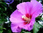 Hibiscus Thomasinis