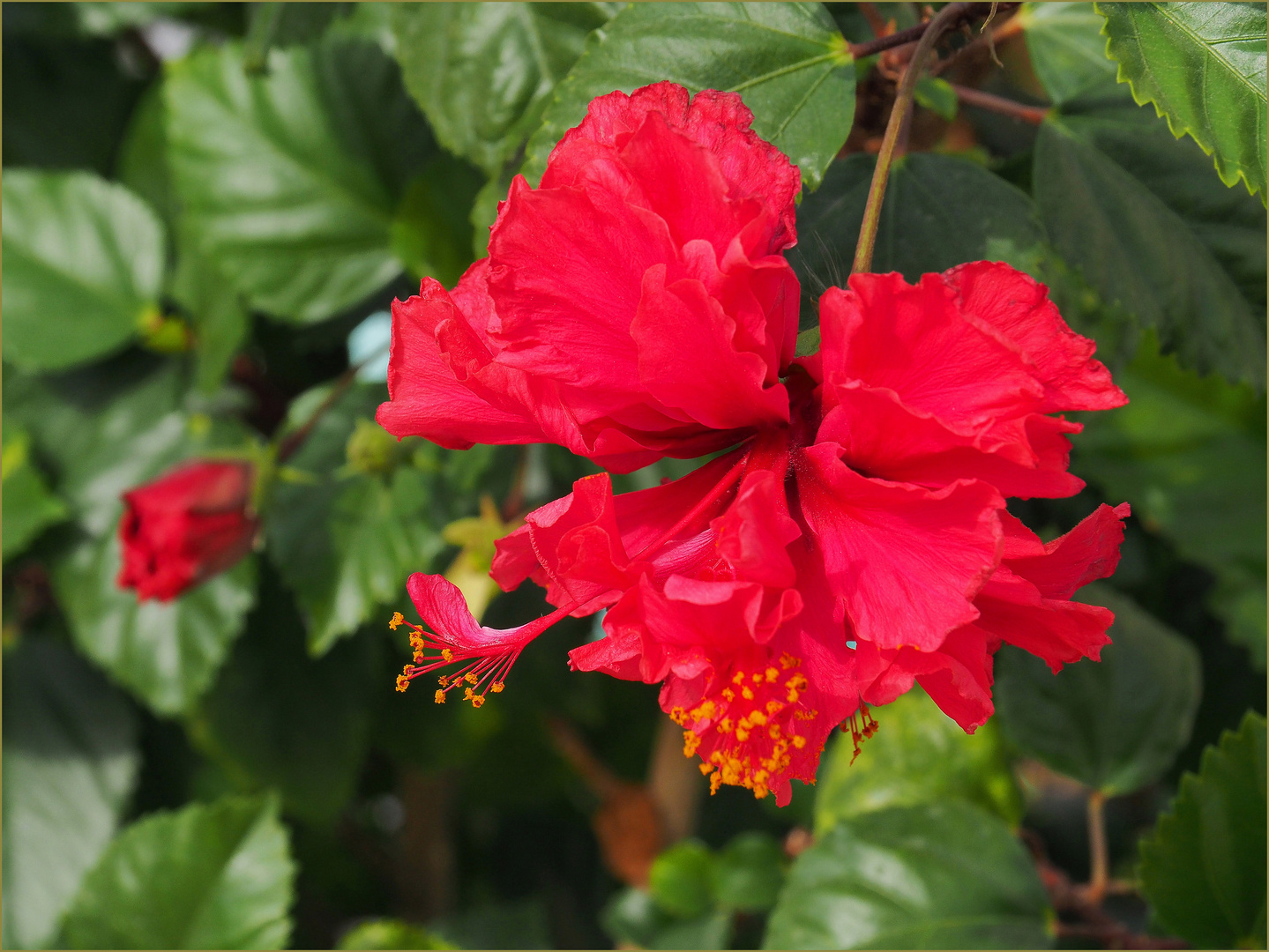 Triple Yellow Tropical Hibiscus - Tropical Plants - Almost ... |Triple Hibiscus