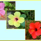 Hibiscus Triptychon