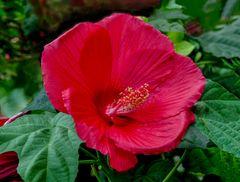 Hibiscus XXL  rot