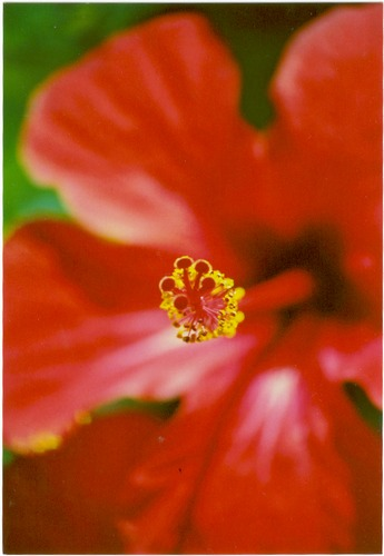 Hibiscusblüte-Makro
