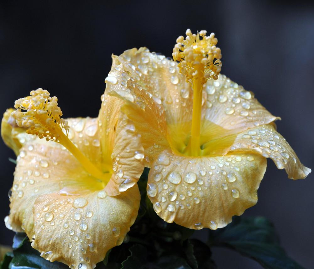Hibiscusblüte nach dem Regen