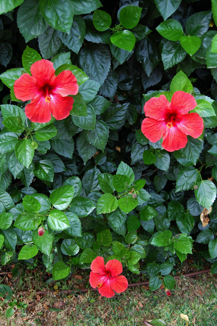 Hibiskus - 3 Blüten