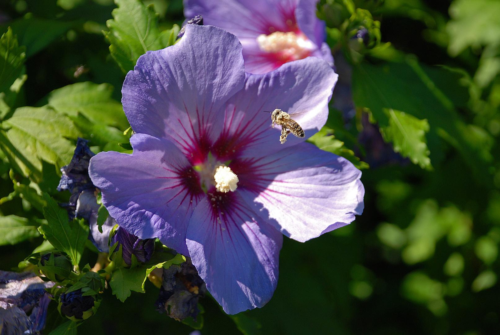 Hibiskus and Bee