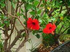 Hibiskus auf Lanzarote